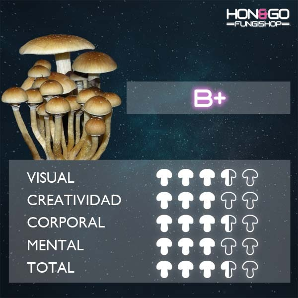 hongo psilocybe cubensis b+